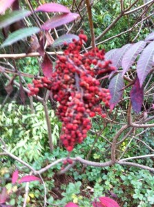 edible Newton foraging Newton I Love Newton Sumac